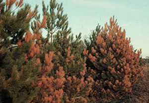 Chloride poisoning on pines