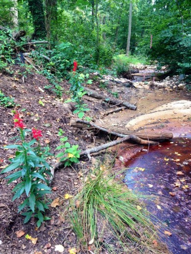 After restoration: Cardinal flowers along the restored stream